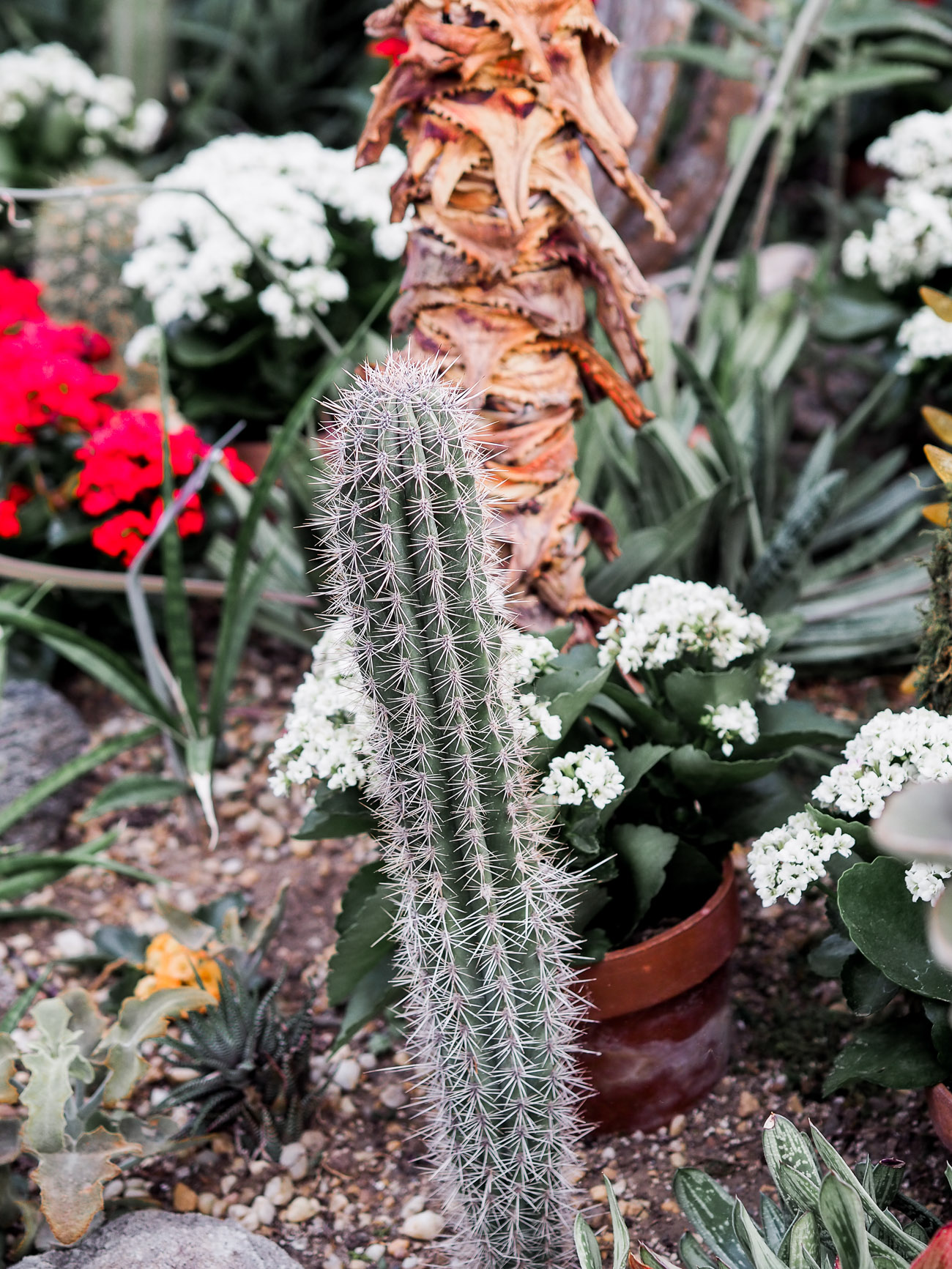 A cactus on display at Allan Gardens