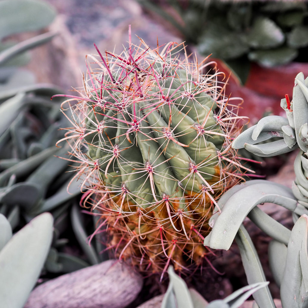 Cactus and succulents at Allan Gardens in Toronto